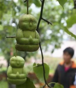 buddha pears